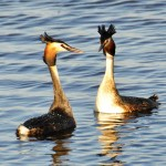 Great Crested Grebe courting