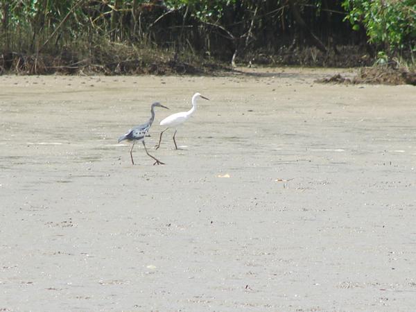 Little Blue Heron juveniles