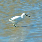 Little Blue Heron white morph