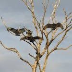 Turkey Vultures sunbathing
