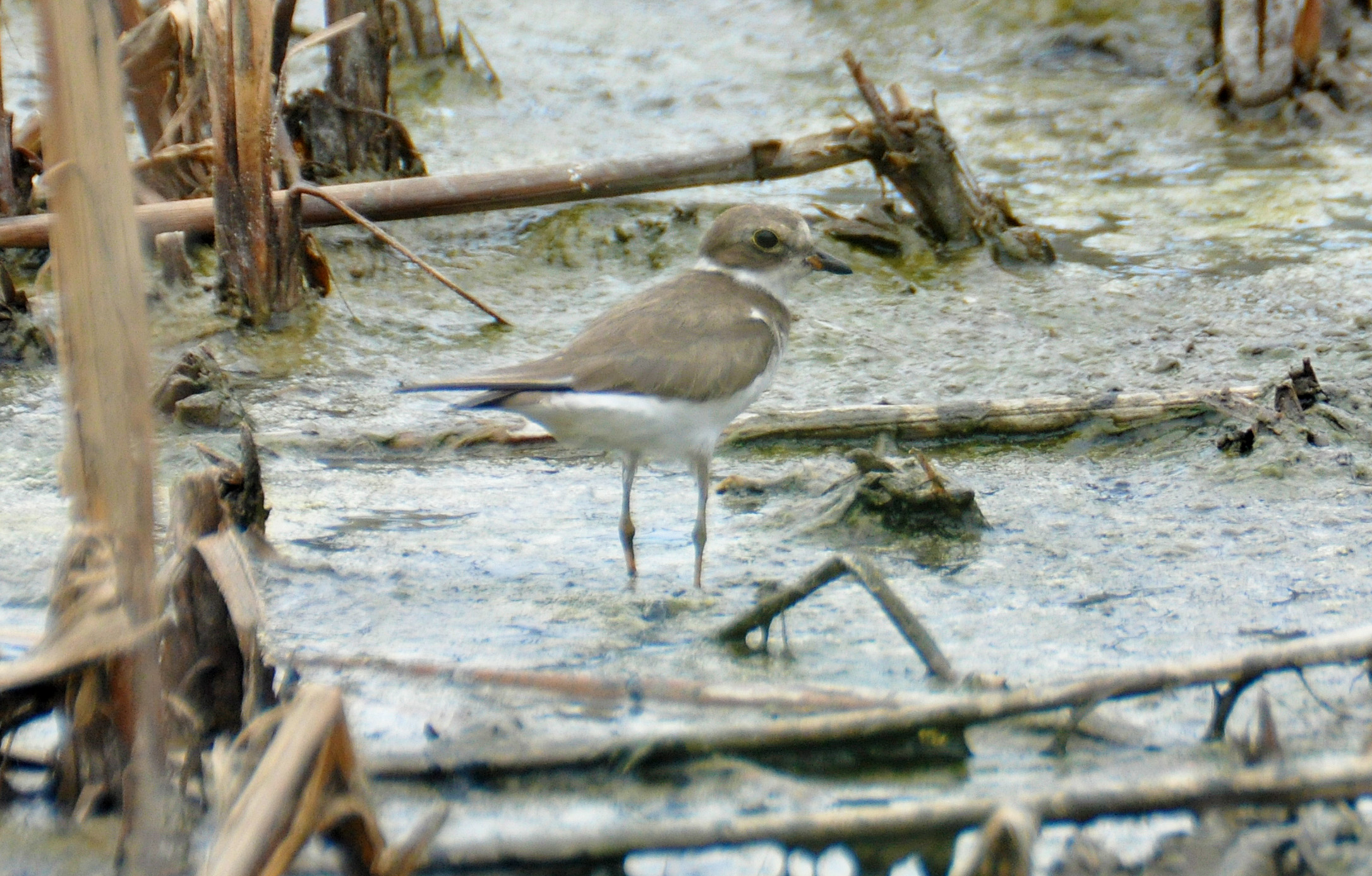 Non-breeding Semipalmated Plover