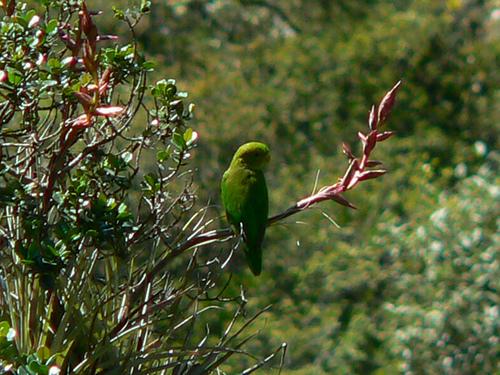 Andean Parakeet