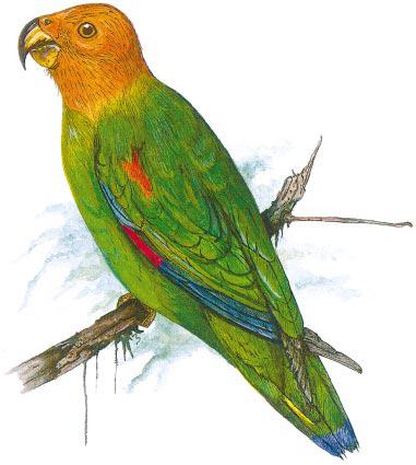 Bald Parrot