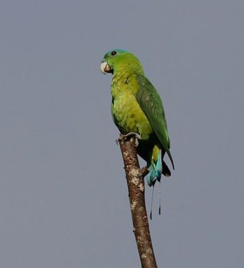 Blue-crowned Racket-tail