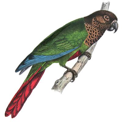 Bonapartes Parakeet