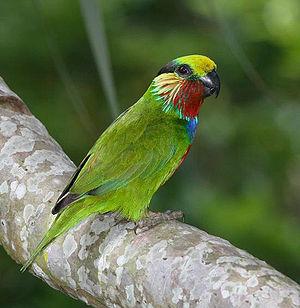 Edwardss Fig Parrot