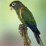 Fiery-shouldered Parakeet