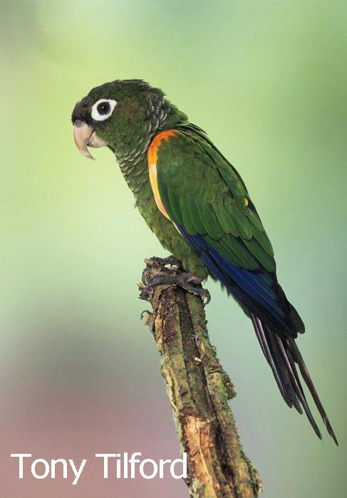 Fiery-shouldered Parakeet