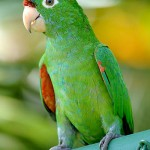 Finschs Parakeet