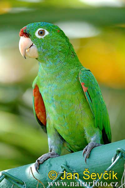 Finschs Parakeet