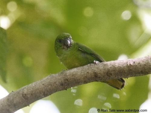 Finschs Pygmy Parrot