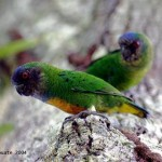 Geelvink Pygmy Parrot