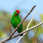 Great Hanging Parrot
