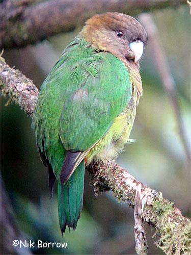 Modest Tiger Parrot
