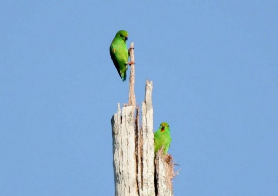 Moluccan Hanging Parrot