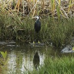 Northern Reef Heron