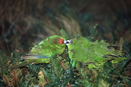 Reischeks Parakeet