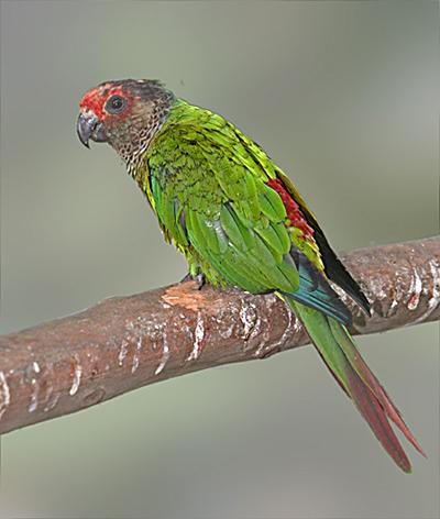 Rose-fronted Parakeet