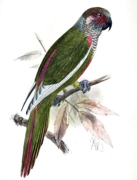 Venezuelan Parakeet