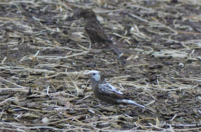 Whitish House Sparrow
