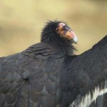 Californian Condor