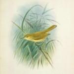 Millerbird  (Acrocephalus familiaris)
