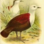 Polylesian Ground-dove (Gallicolumbus erythropterus)