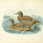 Laysan Duck - Anas laysanensis