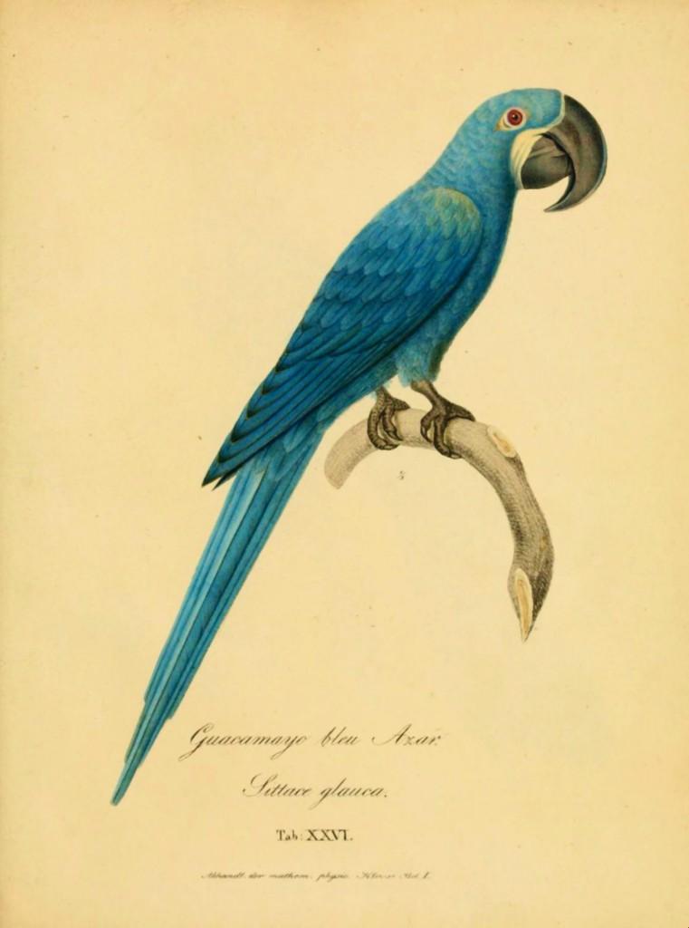 Glaucous Macaw (Anodorhynchus glaucus)