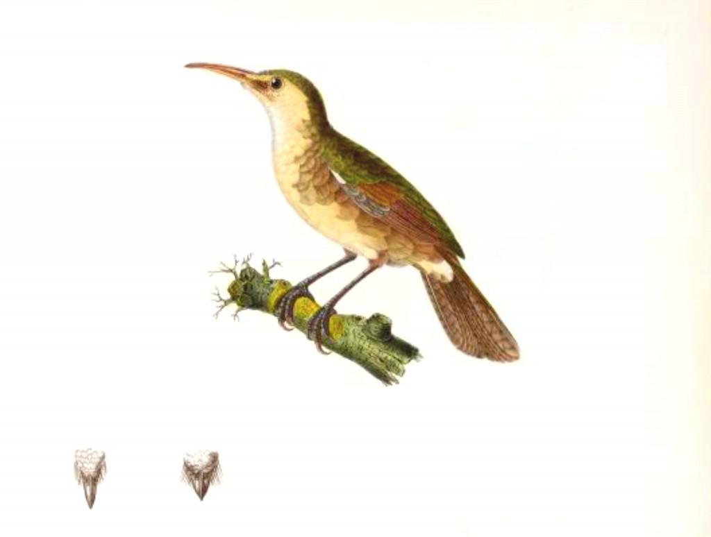 Nightingale Reed-warbler