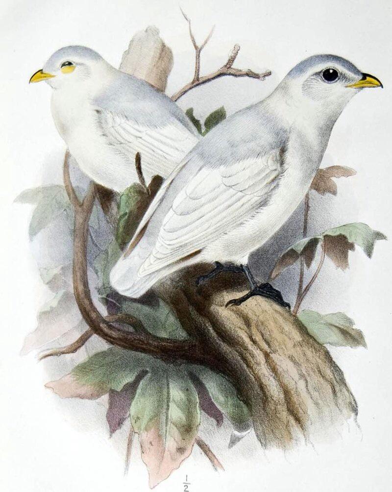 Yellow-billed Cotinga