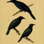 Pohnpei Mountain Starling (Aplonis pelzelni)