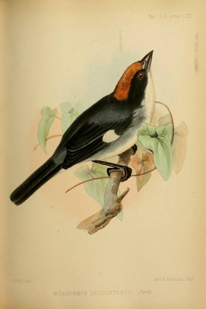 White-winged Brush-finch - Atlapetes leucopterus