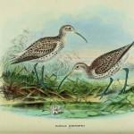 Slender-billed Curlew