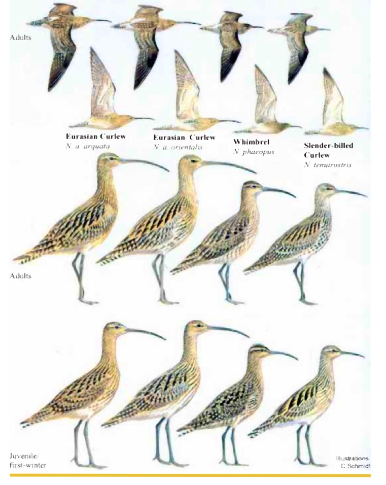 Curlew ID card