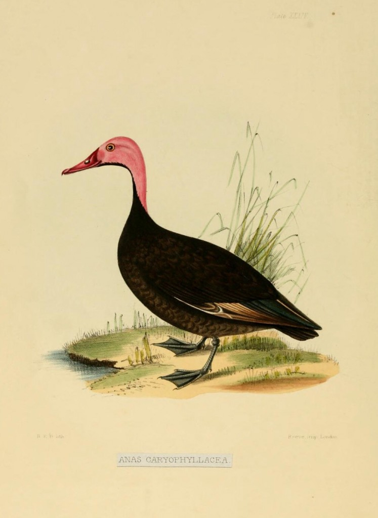 Pink-headed Duck