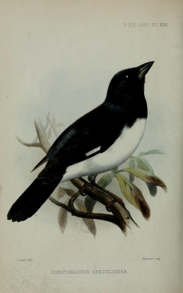 Cone-billed Tanager congener, black and white Tanager