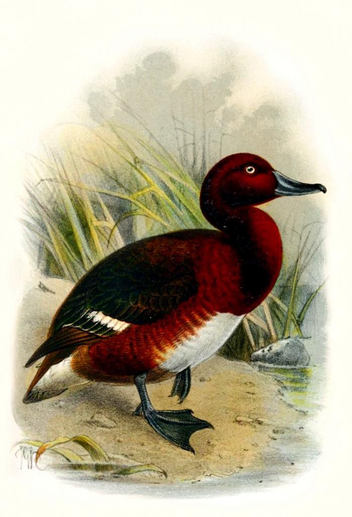 Madagascar Pochard