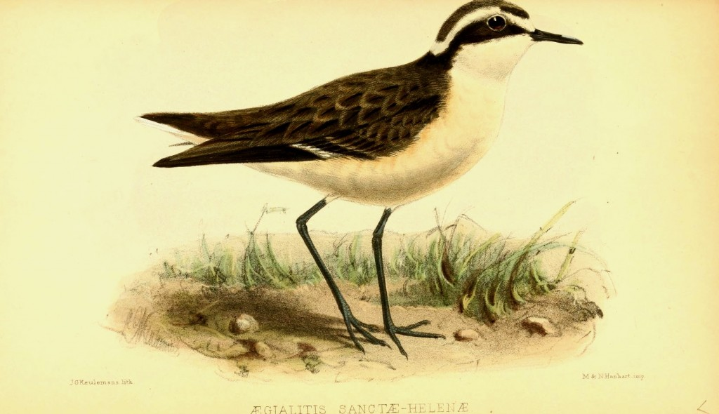 Saint Helena Plover (Wirebird)